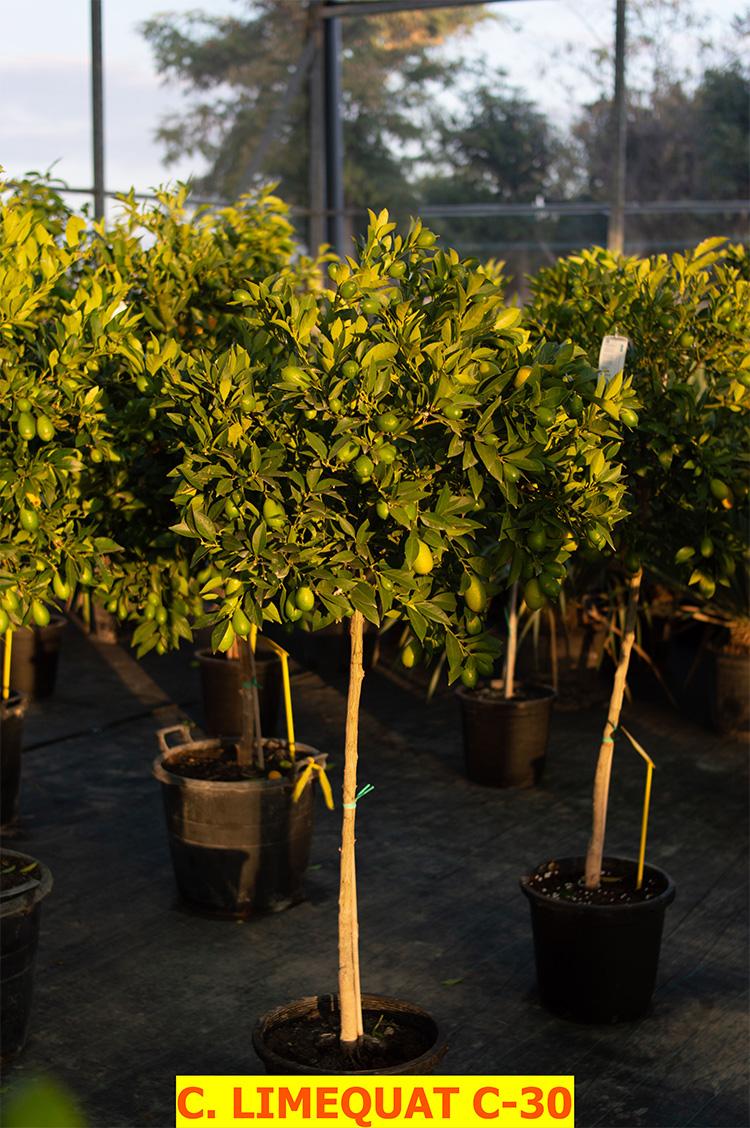 Citrus Fortunella (Limequad)