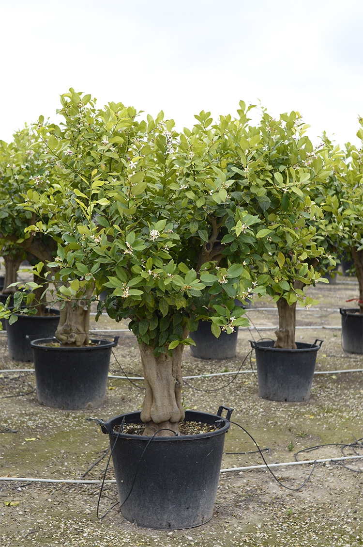 Citrus x Limon (Limonero)