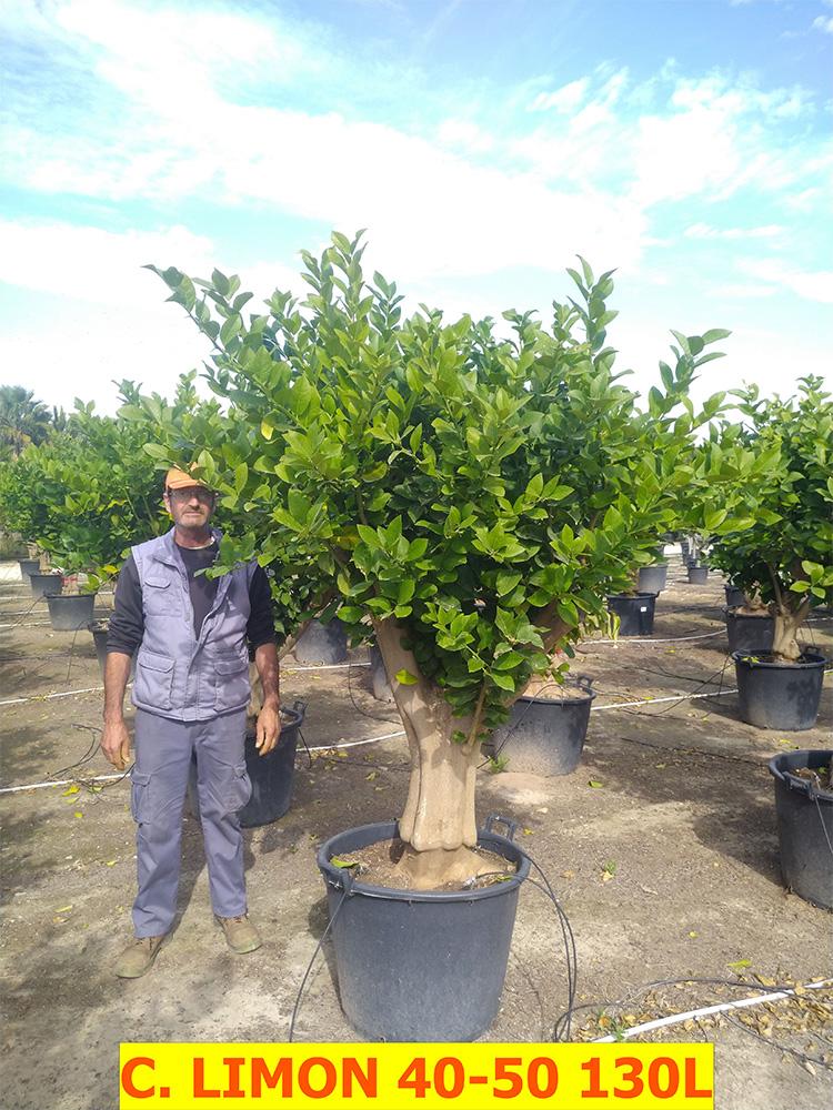Citrus x Limon (Lemon Tree)