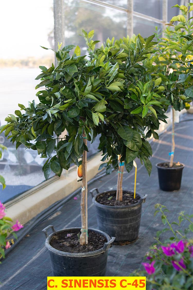 Citrus Sinensis (Orange Tree)