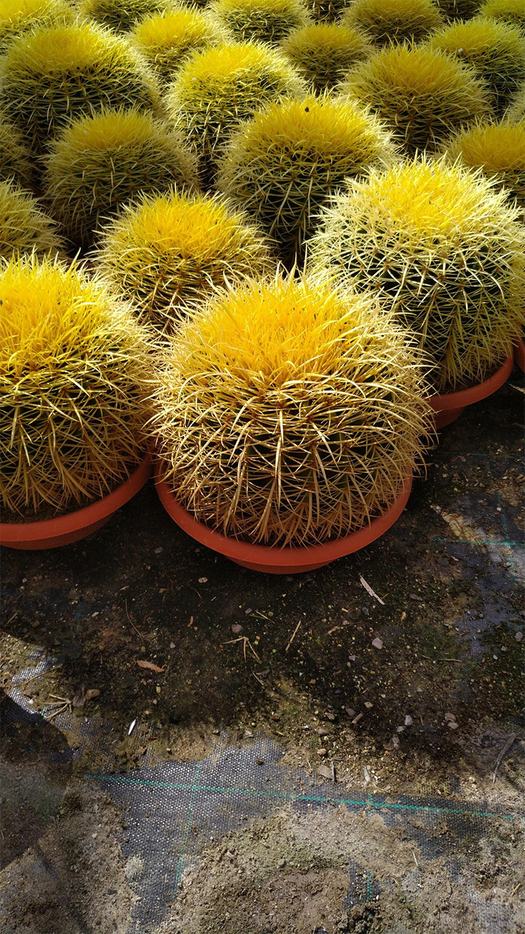 Echinocactus Grusonii