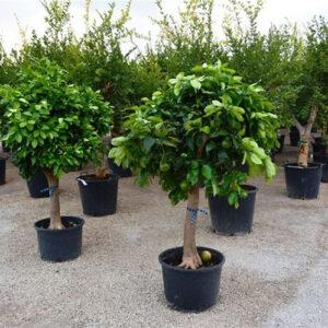 Citrus Paradisii 20-30