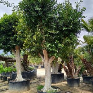 Ficus AUSTRALIS EJEMPLAR 1
