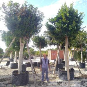Ficus MACROCARPA