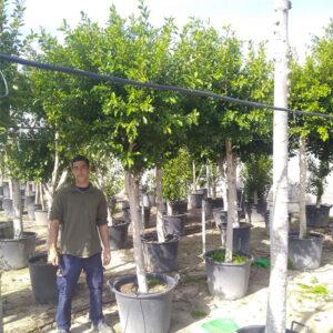 Ficus NITIDA COPA