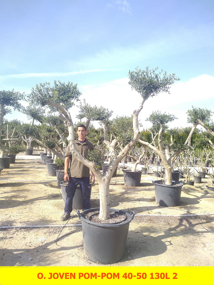 Olea Europaea Joven Pom-Pom