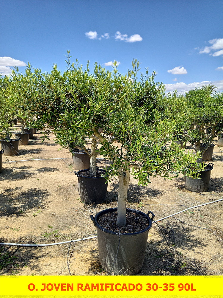 Olea Europaea Young Branched