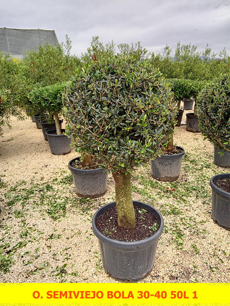 Olea Europaea Semi-old Ball