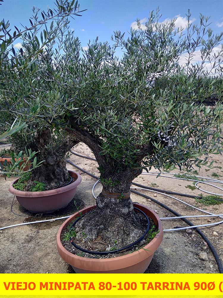 Olea Europaea Minipata