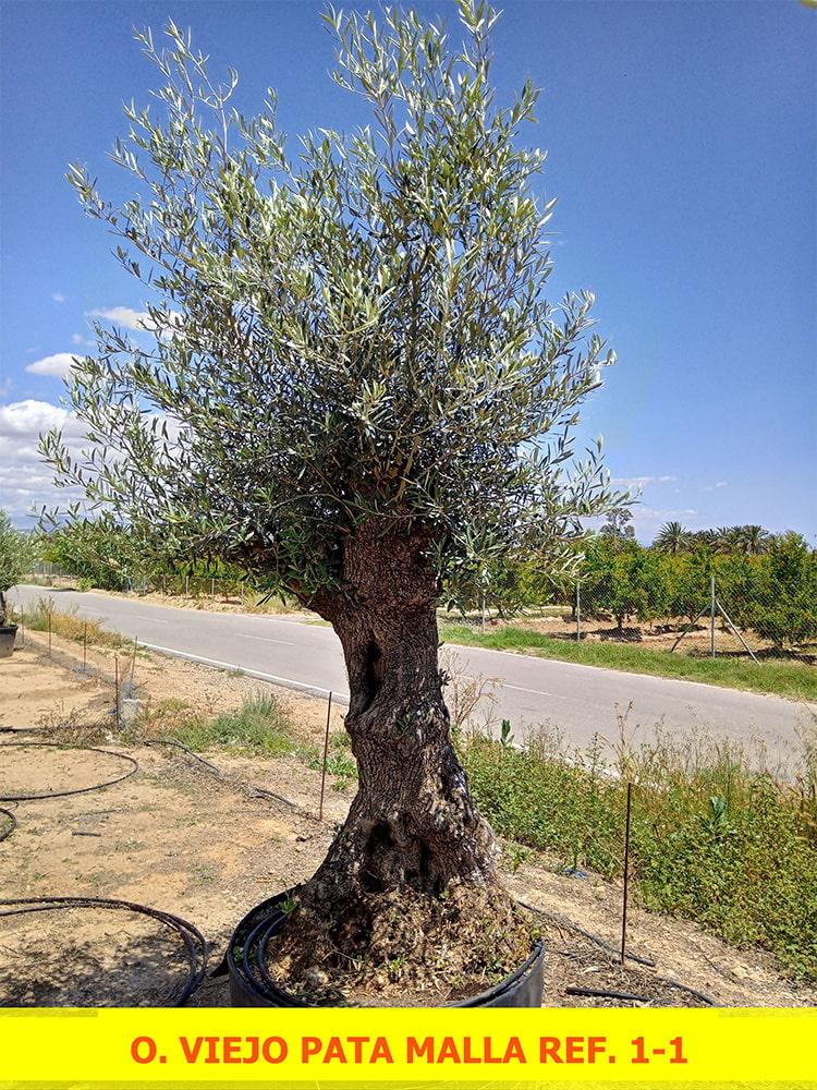 Olea Europaea Viejo Pata