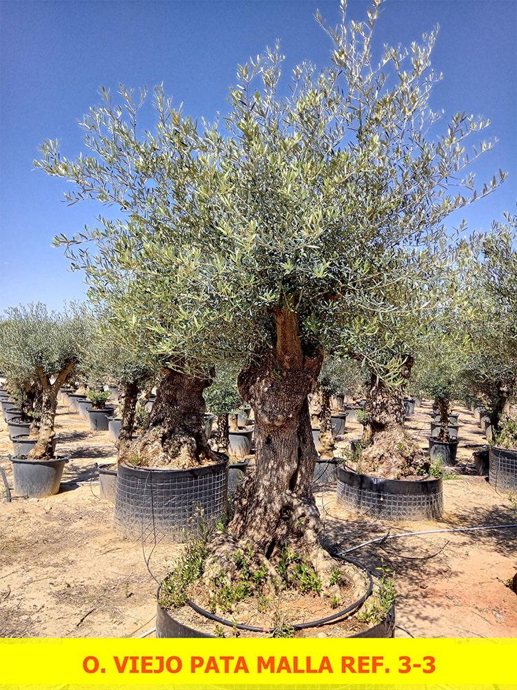 Olea Europaea Old Pata