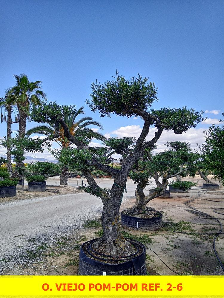 Olea Europaea Viejo Pom-Pom