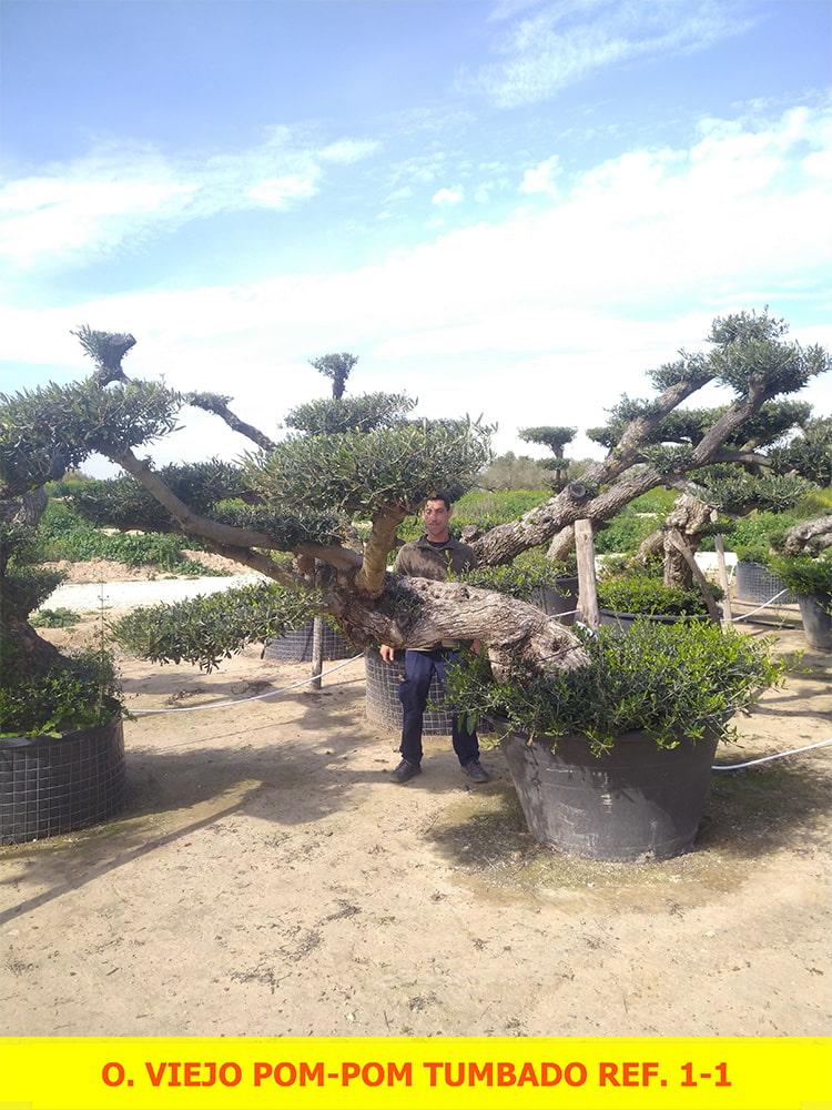 Olea Europaea Viejo Tumbado