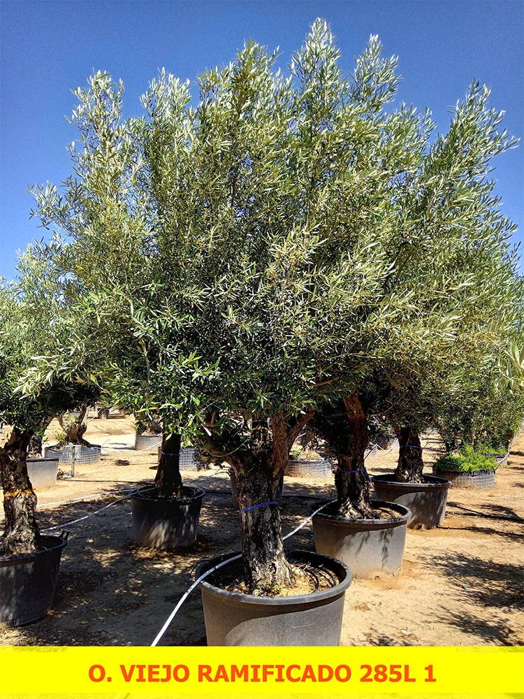 Olea Europaea Viejo Ramificado