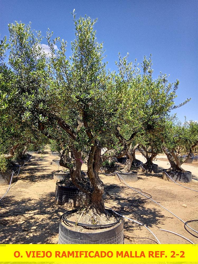 Olea Europaea Old Ramificado
