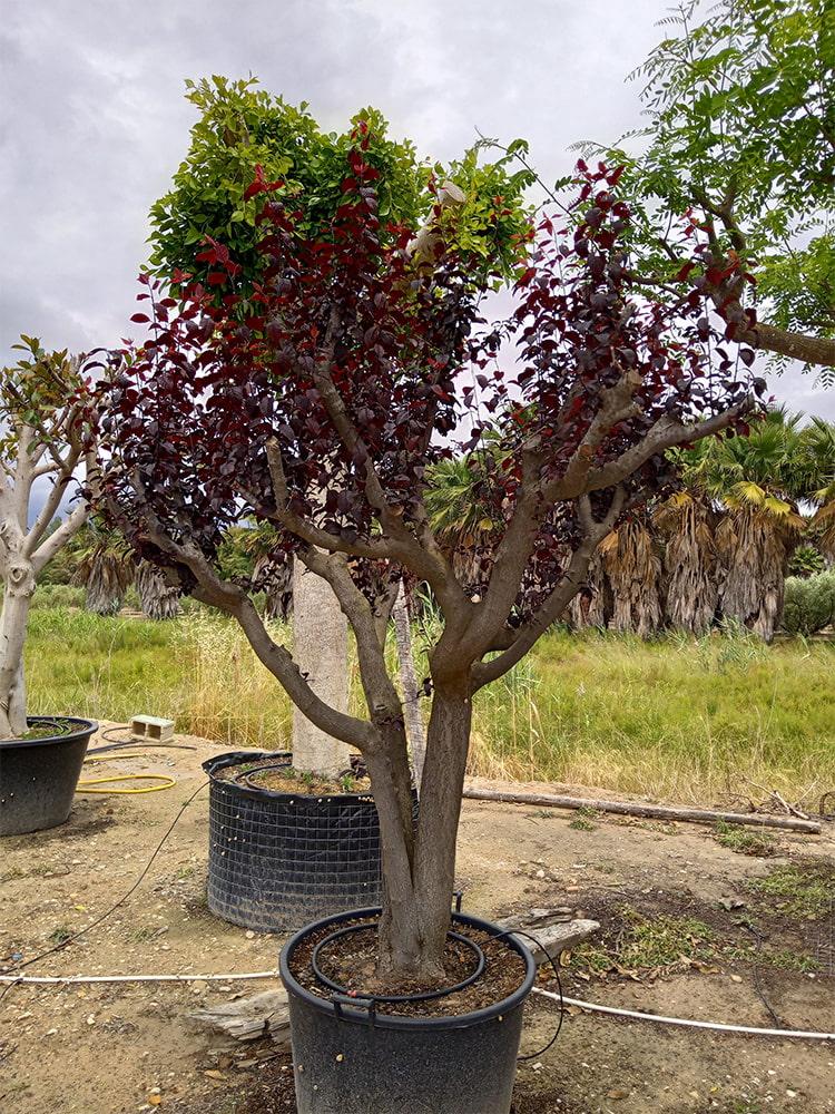 Prunus Pisardi