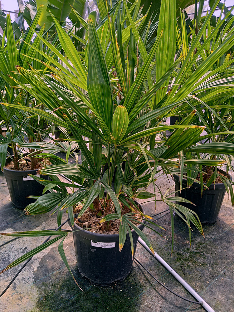 Trachicarpus Fortunei