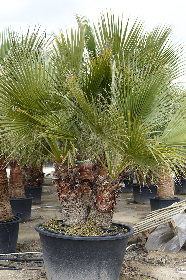 Washingtonia Filifera