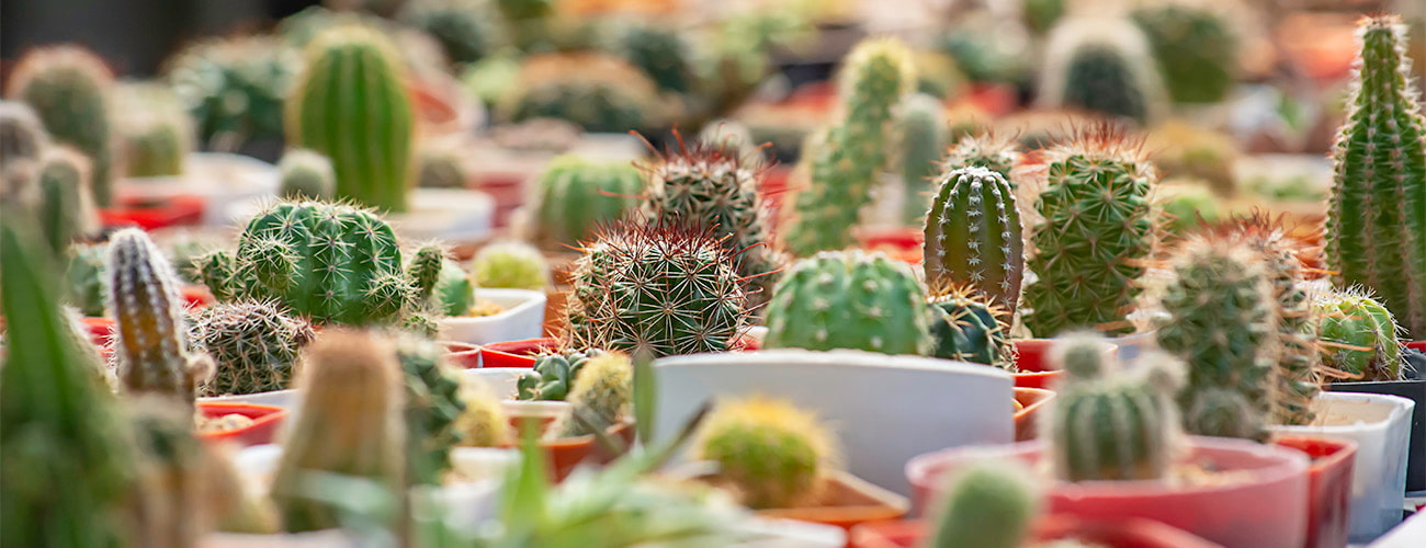 Cactus en viveros Villa-Molar